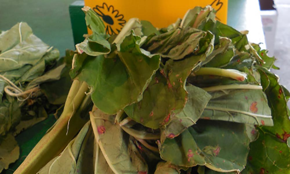 Rhubarb leaves, a natural insecticide, Trucs et astuces