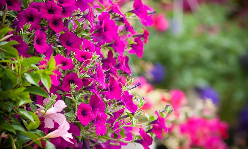 bougainvillier fleurs plantes et fines herbes march s publics de montr al. Black Bedroom Furniture Sets. Home Design Ideas